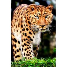 Крадущийся леопард